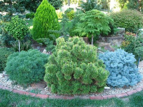 small conifer самые маленькие хвойные деревья для небольших дачных участков