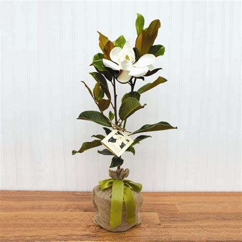 magnolia tree sapling southern magnolia tree trees seedlings the sympathy store