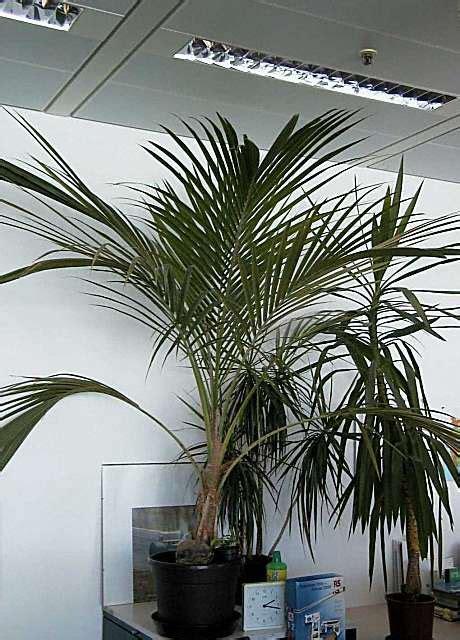 cocos palme pflege palmen pflege der palme cocos nucifera cocospalme kokospalme