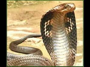 Black mamba and King cobra tribute - YouTube