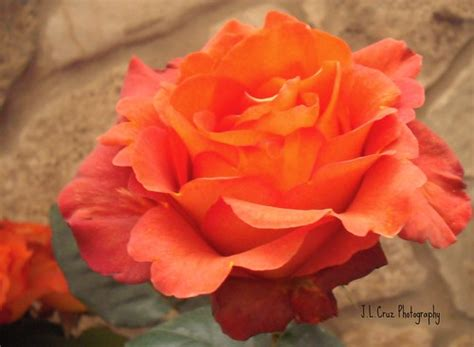 Beds and borders, city, containers, cottage/informal, flower arranging. Rose - Coffee Break   Here is a shot of a rose by the name ...