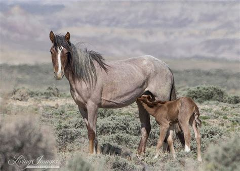 wild horses blm dangerous stop mare horse foal cruel experiments tell why need wildhoofbeats