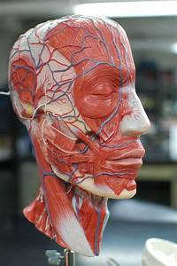 Human Anatomy Lab  Muscles Of The Head And Neck