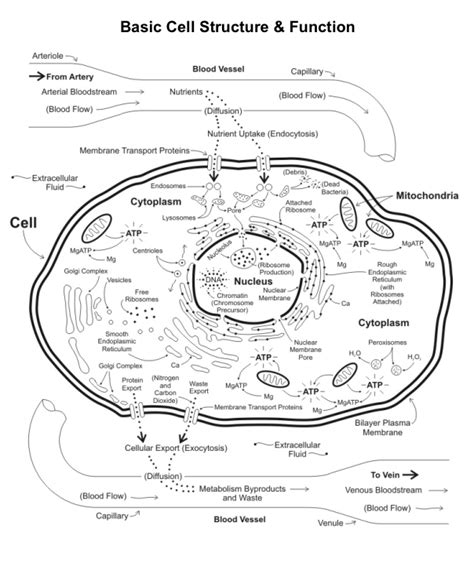 Cell Organelles And Their Functions  Bing Images  Biology  Pinterest  High School Biology