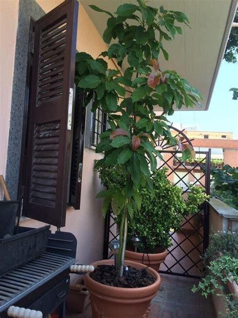 alberi da frutto in vaso avocado coltivazione alberi da frutto come coltivare l
