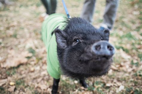 Keeping Pot Bellied Pigs As Pets