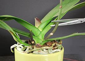 caring for an orchid after it blooms what to do after your just add ice orchid blossoms fade