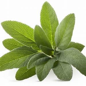 La Sauge Plante : la sauge une plante aux vertus culinaires et m dicinales marie claire ~ Melissatoandfro.com Idées de Décoration