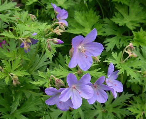 flowers to plant in cranesbill geranium flower how to plant hardy geraniums