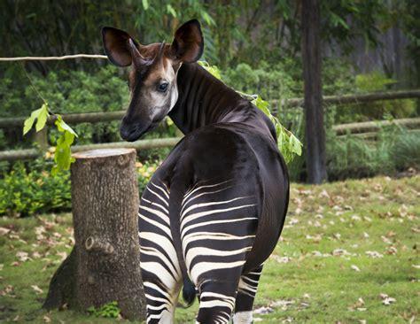 good news   protecting wild okapi  houston zoo