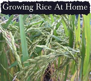 33 Best Rice Images On Pinterest