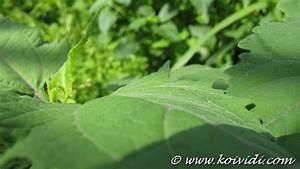 Plante Detoxifiante : le gu rit vite ou colle colle herbe aux multiples vertus ~ Melissatoandfro.com Idées de Décoration