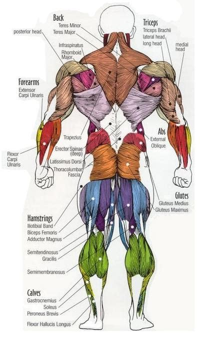 You may be able to find the same content in another format, or you may be able to find more information. Dr Will McCarthy's Science Site: MAJOR MUSCLES of the BODY