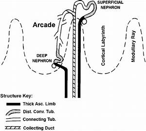 Diagram Showing The Organization Of Distal Nephron  The