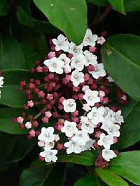 schneeball pflanze schneiden winterbl 252 immergr 252 n anspruchslos gut in form zu schneiden viburnum tinus mittelmeer