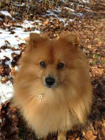 pommerian american eskimo puppy beautiful dogs german