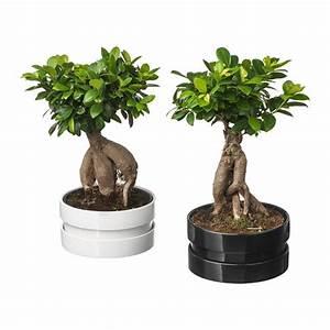 Bonsai Ficus Ginseng : ficus microcarpa ginseng plant with pot ikea ~ Buech-reservation.com Haus und Dekorationen