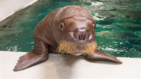 nursery theme seaworld 39 s baby walrus will be called orlando