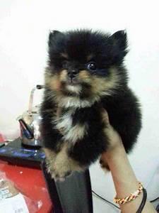 Pomeranian Puppy Sold - 3 Years 9 Months, Pomeranian-black ...