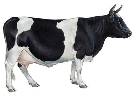 cuisine noir et blanche encyclopédie larousse en ligne vache de race bretonne