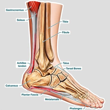 Diagram Of Heel Structure by Bodypartchart Cross Section Of The Foot Labeled