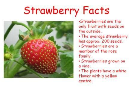 strawberry facts the little mouse the red ripe strawberry and the big hungry bear playing in prep