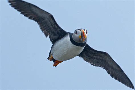 Fileatlantic Puffin In  Ee  Flight Ee   Over  Ee  Newfoundland Ee   Jpg