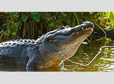 MDWFP Mississippi's Alligator Hunting Season Opens