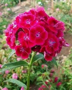 Oeillet De Poete : plants d 39 oeillet de poete vente en gros dianthus barbatus ~ Melissatoandfro.com Idées de Décoration