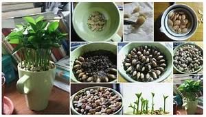 Planter Un Citronnier : comment faire pousser un citronnier dans une tasse ~ Melissatoandfro.com Idées de Décoration