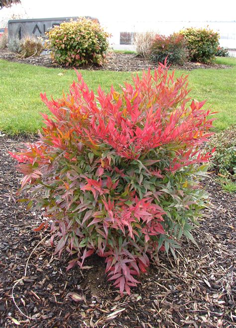 tuscan plants nandina tuscan flame planthaven international