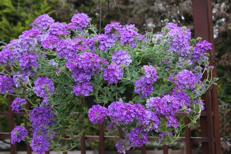 Take A Look At Our Exclusive New Blue Verbena Plants