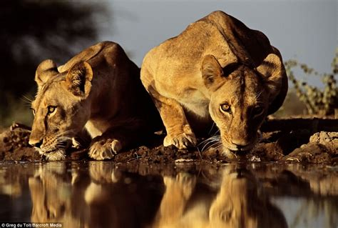 Photographer Captures Amazing Images Of Lions At Watering