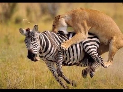 documental leones  leopardos animales salvajes