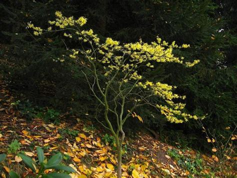 hamamelis virginiana plant pin by sage randall on hazel pinterest