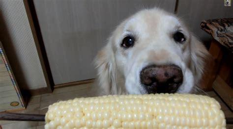 can dogs eat corn cobs corn on cob