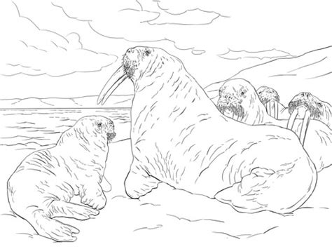 walrus family coloring page super coloring