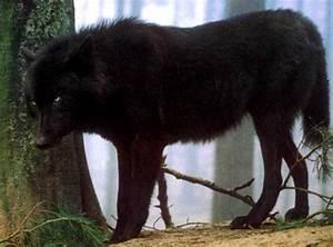 Black Wolf Dog Hybrid   Hunt and Handler   Pinterest ...