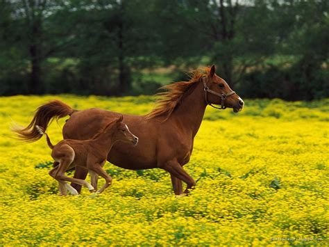 animals resolution wild horse horses animal wallpapers desktop beauty bing foal baby running colt flowers field pony backgrounds wall