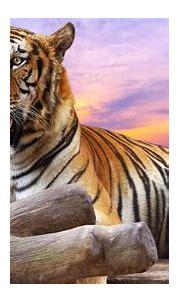 Die 51+ Besten Tiger Wallpapers