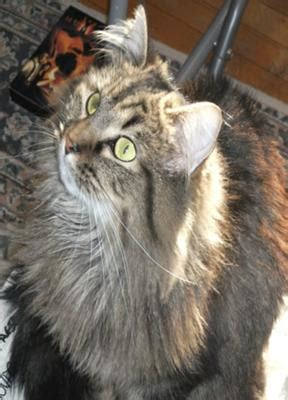 Do Maine Coons Shed Their Mane by Coats Manes Fur Whiskers