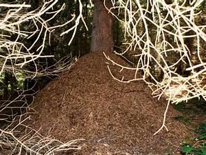 Ameisen Mit Flügel : ameisen zwischen n tzling und plage manuela s tierwelt ~ Buech-reservation.com Haus und Dekorationen