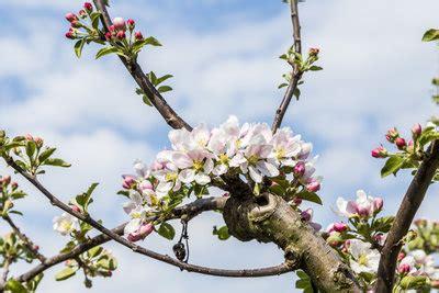 obstbäume vor schützen vogelschutznetz am obstbaum anbringen