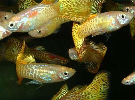 poisson d aquarium ph aquarium eau douce guppy aquariophilie eau douce le gourami nain autres poissons les