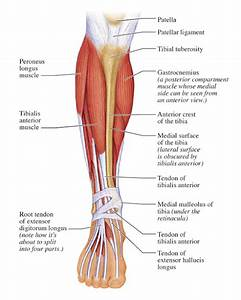 Human Anatomy For The Artist  Anterior Leg  Part 2  It U0026 39 S