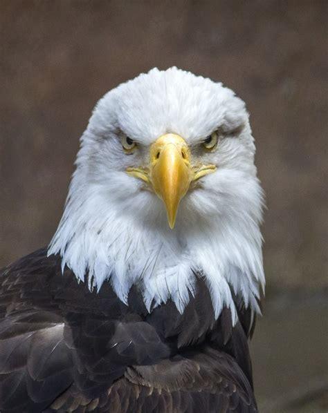 Bald Eagle Images Free Photo Bald Eagle Eagle Bird Nature Free Image