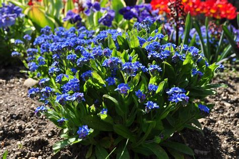 garden flower plant myosotis sylyatica how ornament my eden