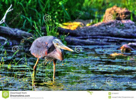 great blue heron fishing in high dynamic range hdr royalty free stock photo image 31195975