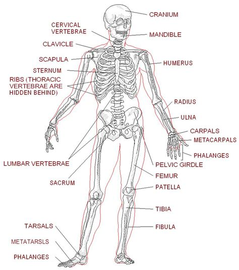 human anatomy worksheets pdf the worksheets