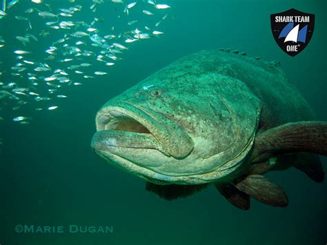 goliath groupers endangered sharks critically grouper corals hope state shark mission